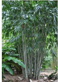 bamboo amoenus
