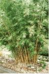 bamboo_alphonse_karr