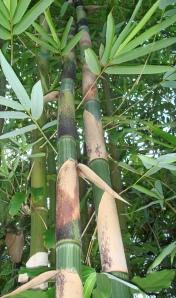 bamboo_bali_white_stripe_looking_up