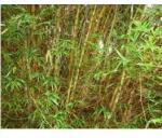 bamboo_golden_buddha_belly