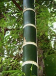 bamboo_guadua_amplexifolia
