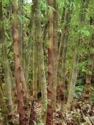 bamboo_indo_asper_2