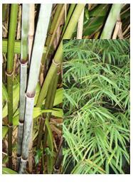 bamboo_khasianum