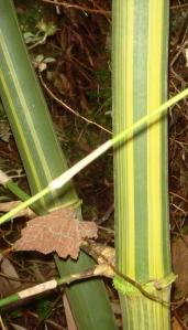 bamboo_long_internode_culms