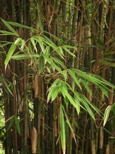 bamboo_luteostriata_leaves