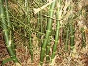 bamboo_membranaceus_3