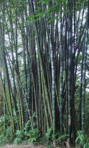 bamboo_oldhamii