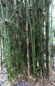bamboo_prevariabilis