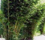 bamboo_slender_textilis