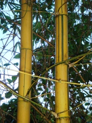 bamboo_vitatta