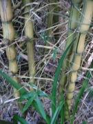 bamboo_w025