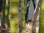 bamboo_wamin1