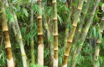 Bamboo~~element399