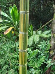 Big_Island_Bamboo_040