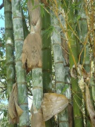 Big_Island_Bamboo_055