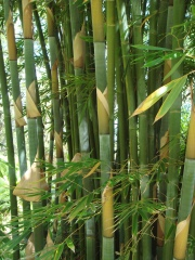 Big_Island_Bamboo_074