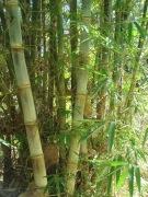 Big_Island_Bamboo_079