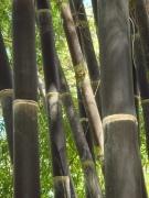 Big_Island_Bamboo_black